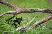 Black Bear Cub Under Branches Fine-Art Print