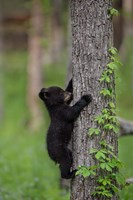 Black Bear Cub Climbing A Tree Fine-Art Print
