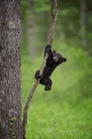 Black Bear Cub Playing On A Tree Limb Fine-Art Print
