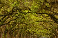 Oaks Covered In Spanish Moss, Savannah, Georgia Fine-Art Print