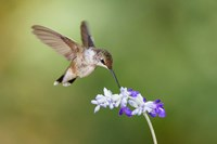 Black-Chinned Hummingbird Feeding Fine-Art Print