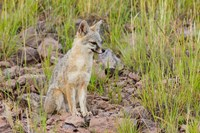Gray Fox On A Hillside Fine-Art Print