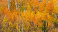 Autumn Forest Landscape Of The Manti-La Sal National Forest, Utah Fine-Art Print
