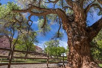 Old Cottonwood Tree And Fence Fine-Art Print