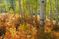 Bracken Ferns And Aspen Trees, Utah Fine-Art Print