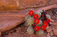 Red Flowers Of A Claret Cup Cactus In Bloom Fine-Art Print