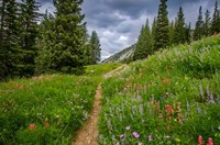 Wildflowers In The Albion Basin, Utah Fine-Art Print