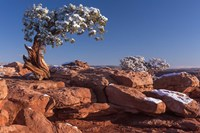 Lone Pine At Dead Horse Point, Canyonlands National Park, Utah Fine-Art Print