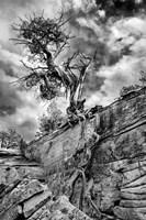 Desert Juniper Tree Growing Out Of A Canyon Wall, Utah (BW) Fine-Art Print