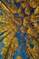 Autumn Aspenat  Big Cottonwood Canyon, Utah Fine-Art Print