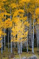Yellow Aspens In The Flaming Gorge National Recreation Area, Utah Fine-Art Print