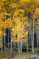 Yellow Aspens In The Flaming Gorge National Recreation Area, Utah Fine-Art Print