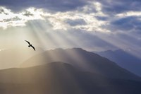 Seagull And God Rays Over The Olympic Mountains Fine-Art Print