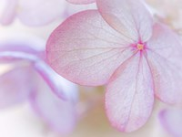 Close-Up Of Hydrangea Paniculata Flower Fine-Art Print