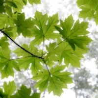 Big Leaf Maples In Summer Fine-Art Print