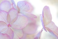 Close-Up Of Soft Pink Hydrangea Flower Fine-Art Print