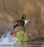 Mallard Duck Takes Flight Off Lake Washington Fine-Art Print