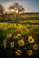 Arrowleaf Balsamroot Wildflowers At Columbia Hills State Park Fine-Art Print