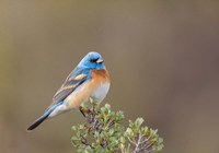 Lazuli Bunting On A Perch At The Umtanum Creek Recreational Are Fine-Art Print