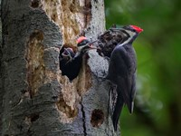 Pileated Woodpecker Aside Nest With Two Begging Chicks Fine-Art Print