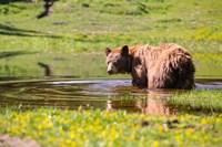 American Black Bear Takes A Cool Bath Near Mystic Lake Fine-Art Print