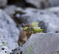 American Pika Collecting Leaves Fine-Art Print