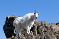 Mountain Goat Climbing Rocks Fine-Art Print