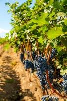 Vineyard Grapes Near Harvest Fine-Art Print