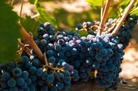 Petit Verdot Grapes From A Vineyard Fine-Art Print