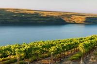 Vineyard Overlooking The Columbia River Fine-Art Print