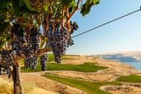 Merlot Grapes Hanging In A Vineyard Fine-Art Print