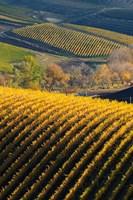 Vineyards, Walla Walla, Washington State Fine-Art Print