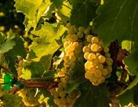 Sauvignon Blanc Grapes Fine-Art Print