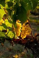Harvest Time In A Vineyard Fine-Art Print