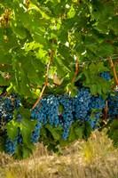 Cabernet Sauvignon Grapes Near Harvest Fine-Art Print