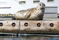 Harbor Seal  Out On A Dock Fine-Art Print
