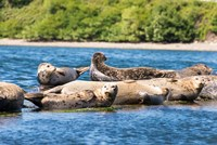 Harbor Seal Gathering At Liberty Bay Fine-Art Print