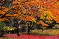 Red Vine Maple In Full Autumn Glory Fine-Art Print
