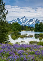 Lupine Flowers With The Teton Mountains In The Background Fine-Art Print
