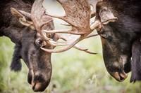 Close-Up Of Two Bull Moose Locking Horns Fine-Art Print