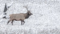 Bull Elk Walks In The Snow Fine-Art Print
