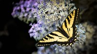 Western Tiger Swallowtail Butterfly On A Lilac Bush Fine-Art Print