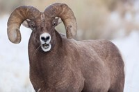 Bighorn Sheep With Grass In His Mouth Fine-Art Print