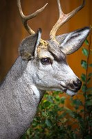 Close-Up Of A Mule Deer Fine-Art Print