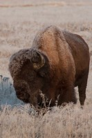American Bison On A Frosty Morning Fine-Art Print