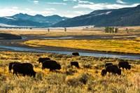 Bison Herd Feeding, Lamar River Valley, Yellowstone National Park Fine-Art Print