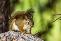 Red Tree Squirrel Posing On A Branch Fine-Art Print