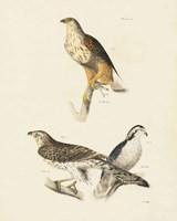 Birds of Prey II Fine-Art Print