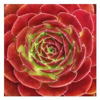Fuzzy Red Succulent Fine-Art Print