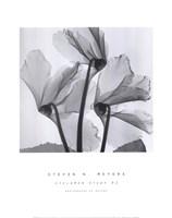 Cyclamen Study No.1 Fine-Art Print
